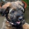 Sally Puppy Briard